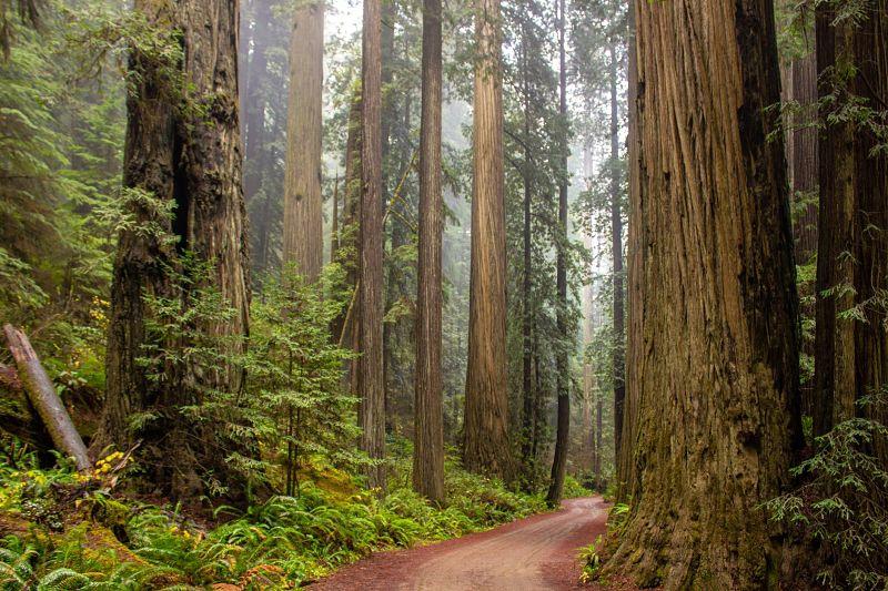 bosque de sequoias