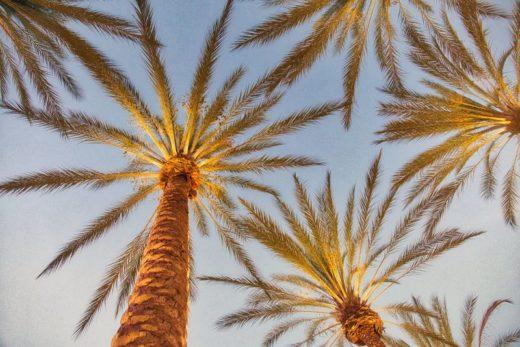 curiosidades sobre california palmeras